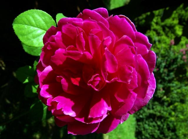 Роза сорта Отелло, фото фотография цветы