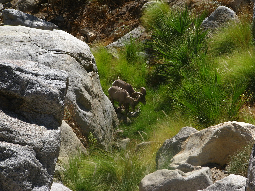 Pair Of Bighorn Sheep Ovis Canadensis Nelsoni Getting A