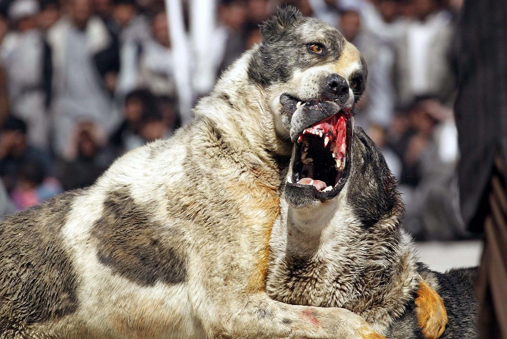 Afghanistan Dog Fights Dogs Battle It Out As Hundreds Of