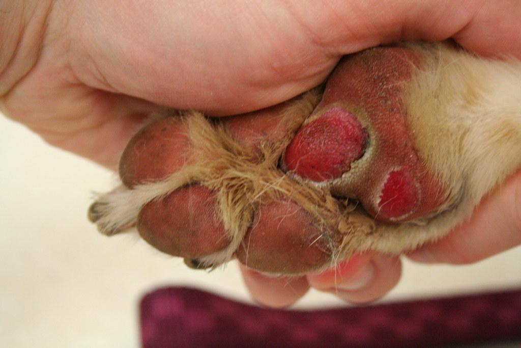 Dogs Torn Peeling Paw Pads