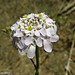 Flor do Campo // Wildflower (Iberis ciliata subsp. welwitschii)