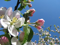 Apple Blossoms Buds & Flowers Against Blue Sky | by BrandyVSOP