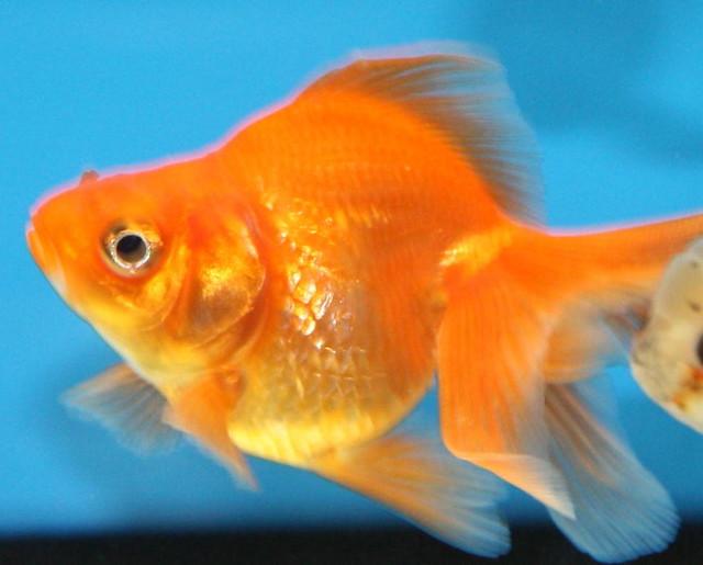 Red Fantail Goldfish   Carassius auratus   DianesDigitals ...