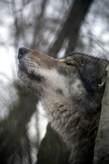 howling wolf the grey wolf or gray wolf canis lupus