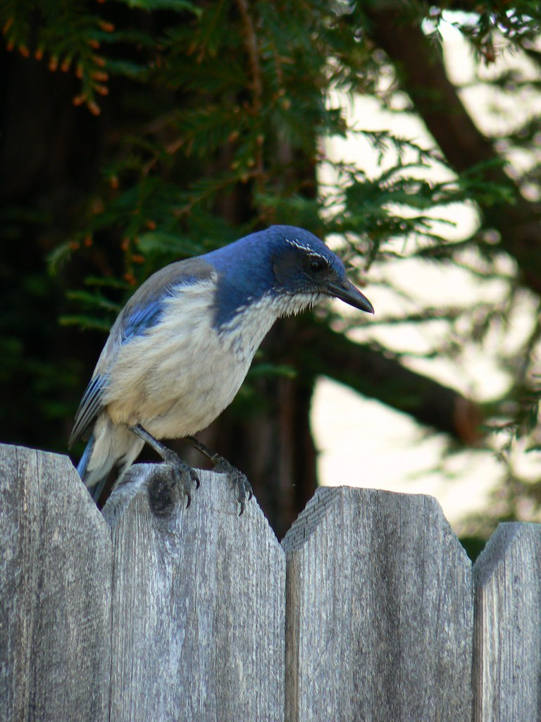 California Blue Bird Nick Ares Flickr