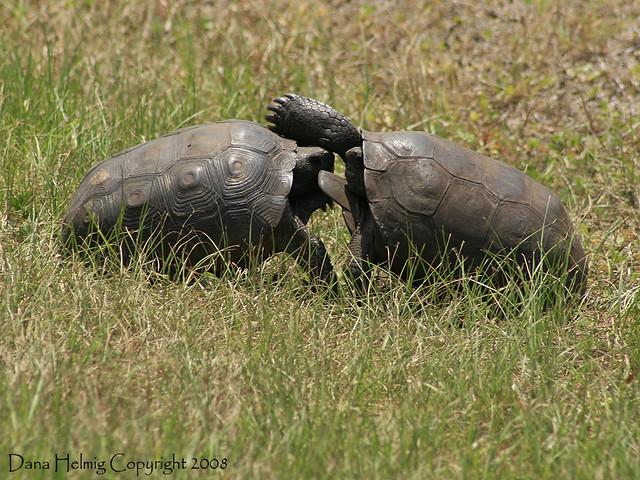 Αποτέλεσμα εικόνας για turtles fighting