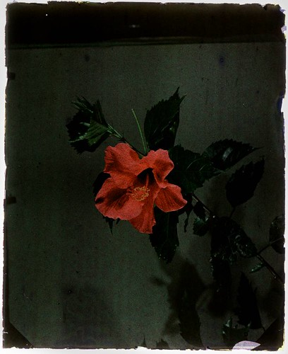 Hibiscus | by George Eastman House