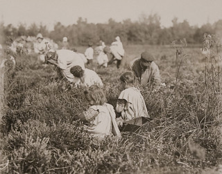Children Picking Cranberries, Pemberton,New Jersey - September | by Museum of Photographic Arts Collections