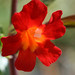 Red Mimulus