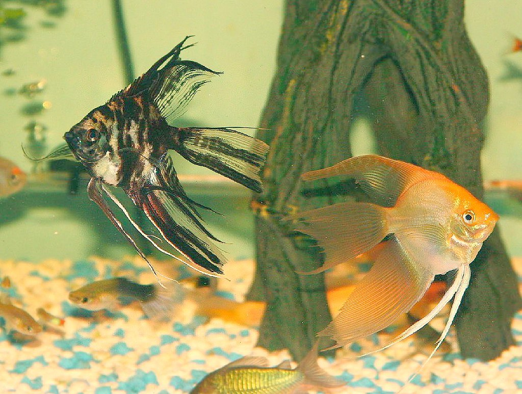 Angelfish Black Marble & Gold | Pterophyllum sp ...