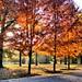 Fall Trees, Sunlight