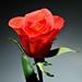 Strobist Rose