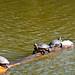 Turtles at Stow Lake