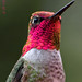Hummingbird in the Rain 2 - Vancouver, British Columbia