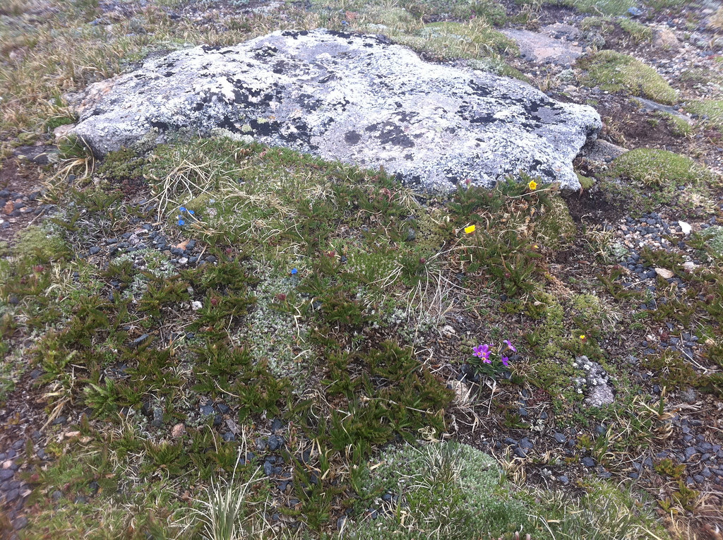 tundra plants christine warner hawks flickr