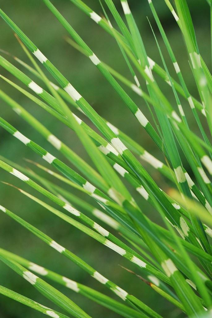 Zebrinus Ornamental Grass Dsc 0687 Ornamental Grass