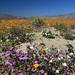 Wildflowers in Anza-Borrego Desert State Park