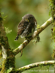 Costa Rican Pygmy-Owl | by Michael Woodruff