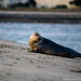 Grey Seal at Bull Island, Dublin