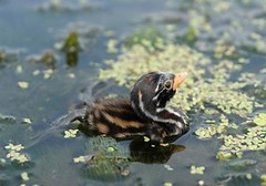 Little grebe chick | by East Asia & Pacific on the rise - Blog