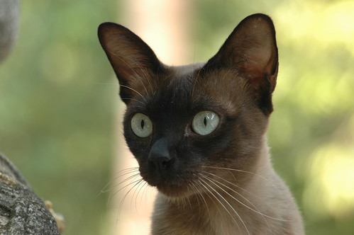 Siamese cat in Siam | by xiffy