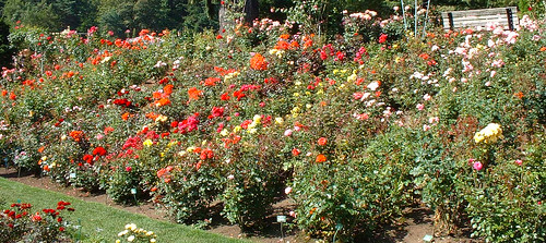 Portland Rose Garden | by Astronomer