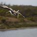 Brown Pelican Diving 1/3