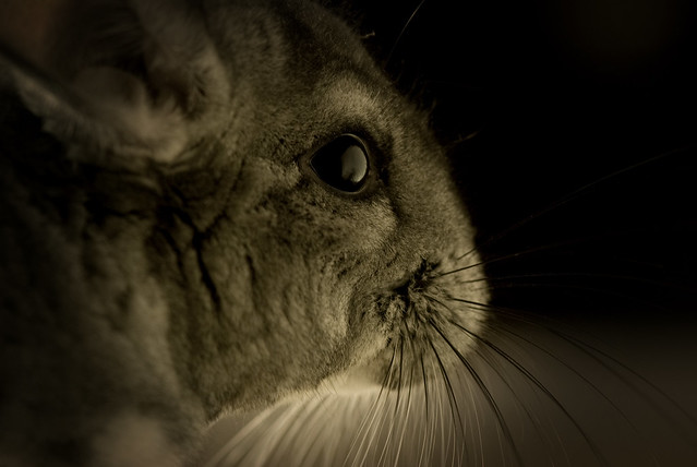 chinchilla mature singles List your bird for sale, or browse hundreds of birds for sale in australia on petspleasecomau view detailed bird advertisements.