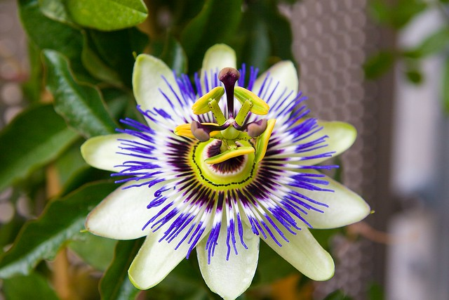 blaue passionsblume passiflora caerulea blaue passionsbl flickr. Black Bedroom Furniture Sets. Home Design Ideas
