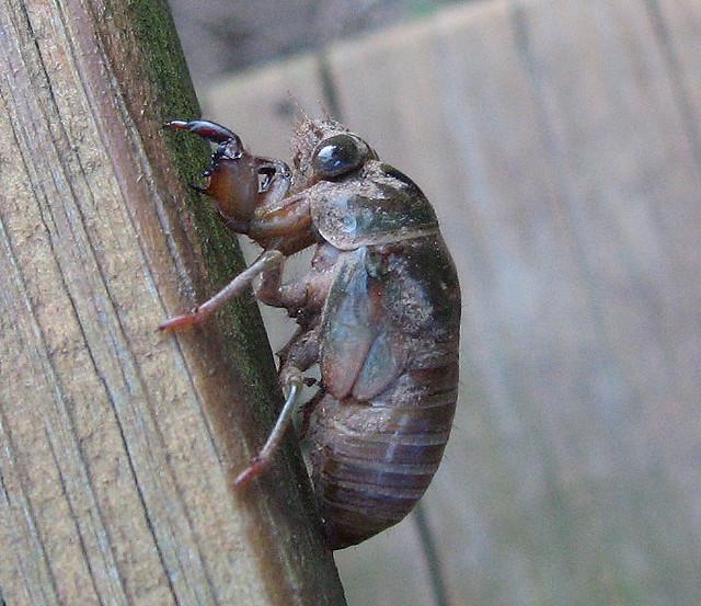 cicada nymph - photo #31