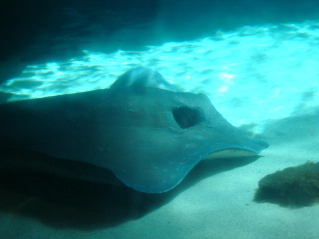 Stingray taken at the new york aquarium coney island Aquarium in coney island
