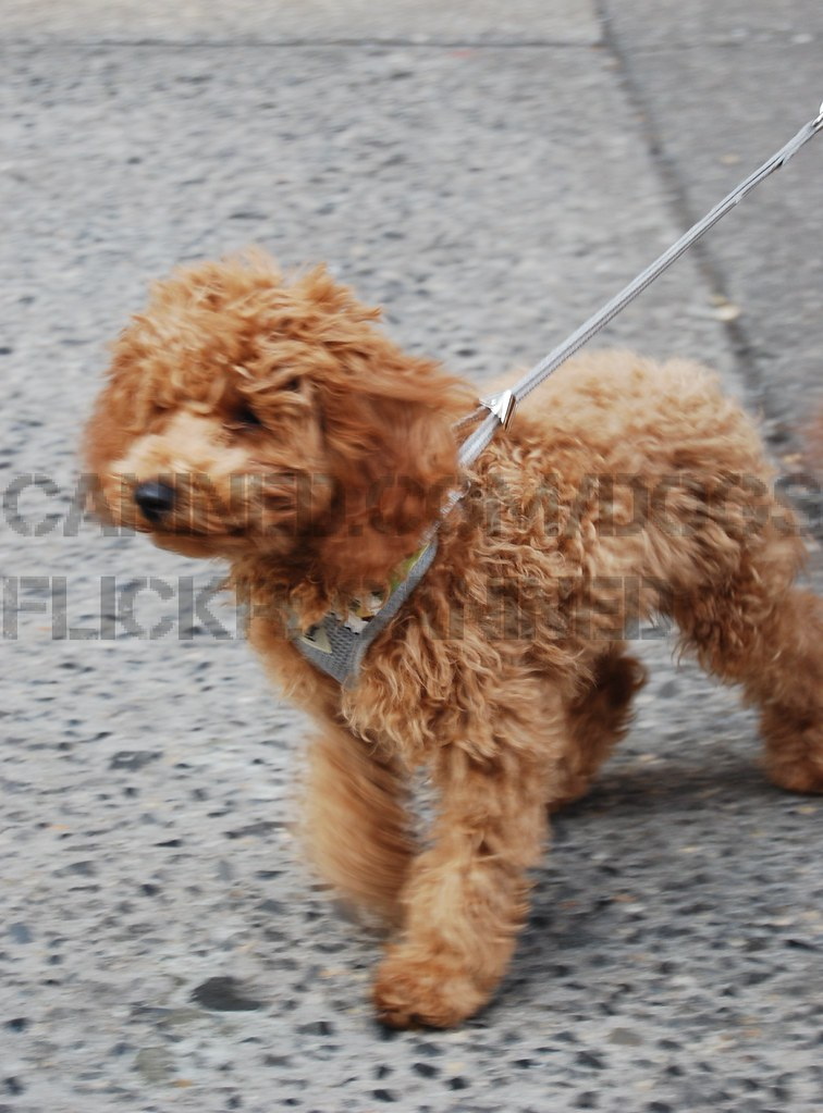 Goldendoodle Breeders Long Island Ny