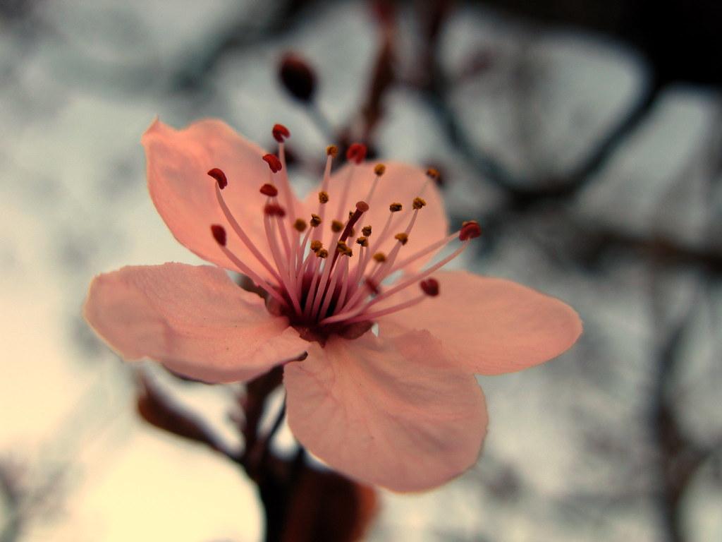 Flor ciruelo ornamental el ciruelo de jard n es un for Como podar un ciruelo de jardin