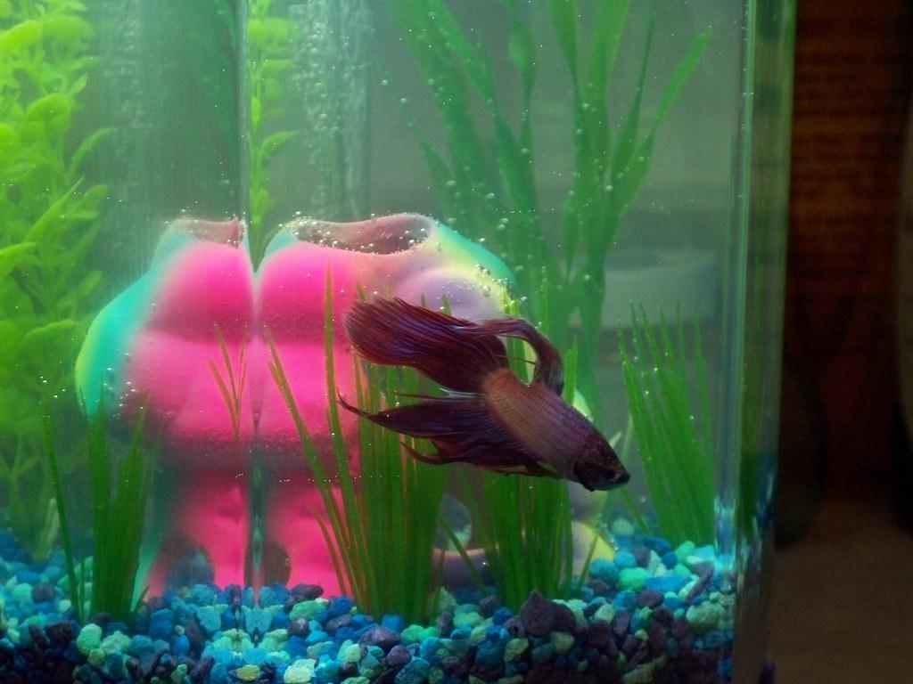 Ceylon spinel my new purple betta fish his tank mates for Tank mates for betta fish