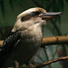 """Kookaburra sits in the old gum tree..."""