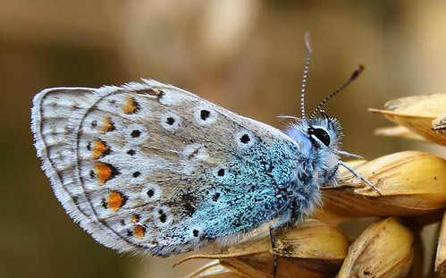 blue butterfly | by _poseidon_