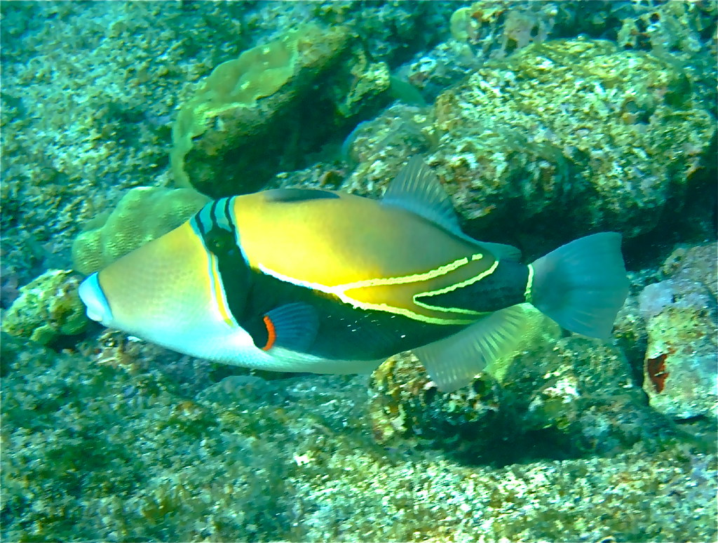 Humuhumunukunukuapua 39 a nesting fish with a nose like a for Fish in hawaii