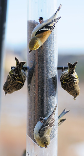 American Goldfinch, Lesser Goldfinch and Pine Siskins on Upside Down Thistle Feeder2 | by Darin Ziegler