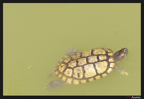 Turtle swimming.. | by Azuma.