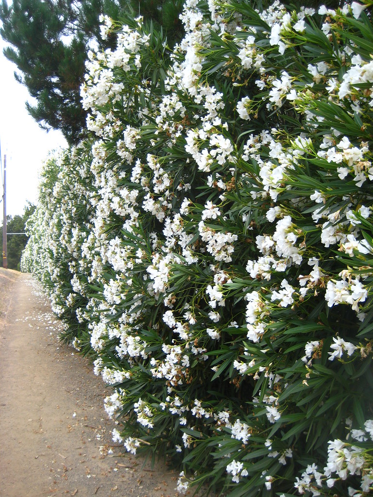 The most common shrub/privacy hedge/flower ( Oleander via ...