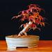 """Acer palmatum """"Deshojo"""" Japanese Maple Bonsai Tree (back view)"""