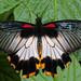 Papillon!