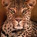 Memphis Jaguar