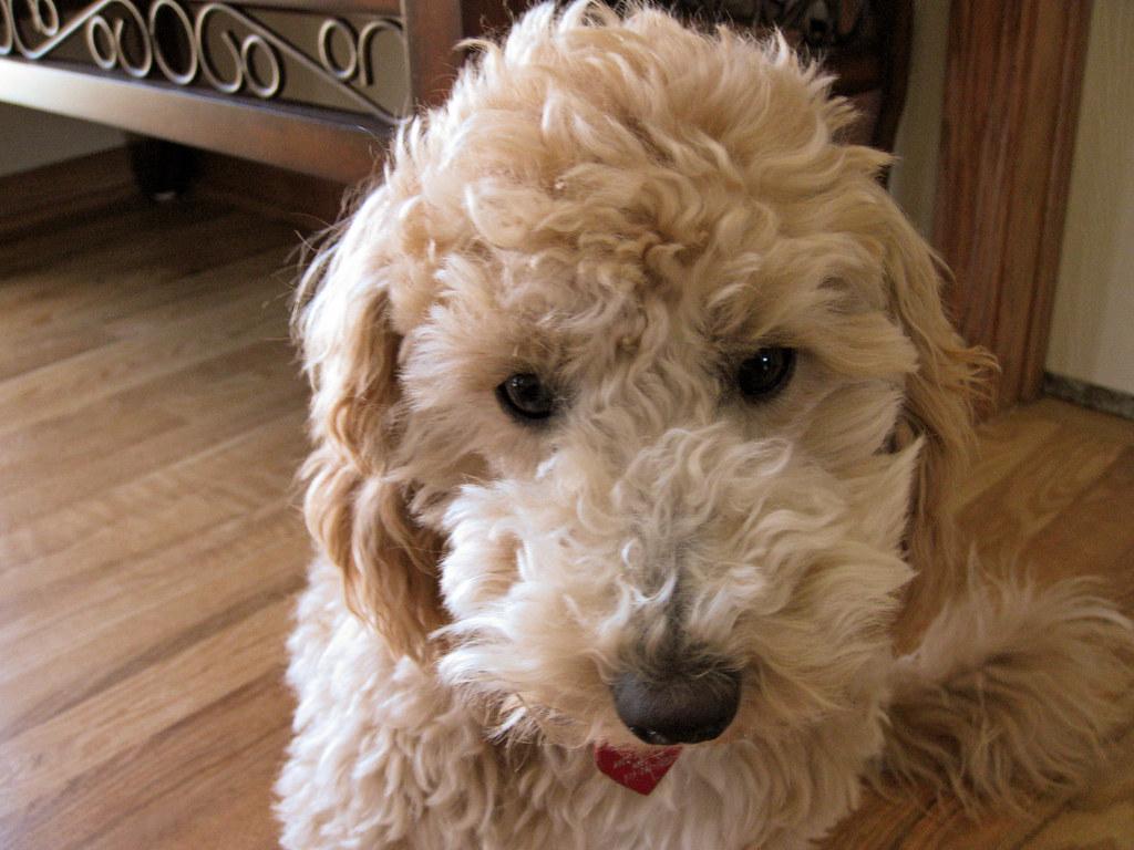 Charlie: My Poochon Puppy | www.charlieandgizmo.com/club ...