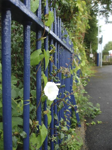 Bindweed on Tisbury Station | by James's GW Blog