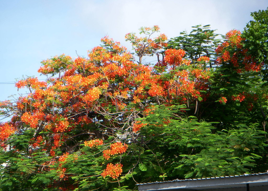 Orange Flowering Tree Love These Trees They Are Beau Flickr