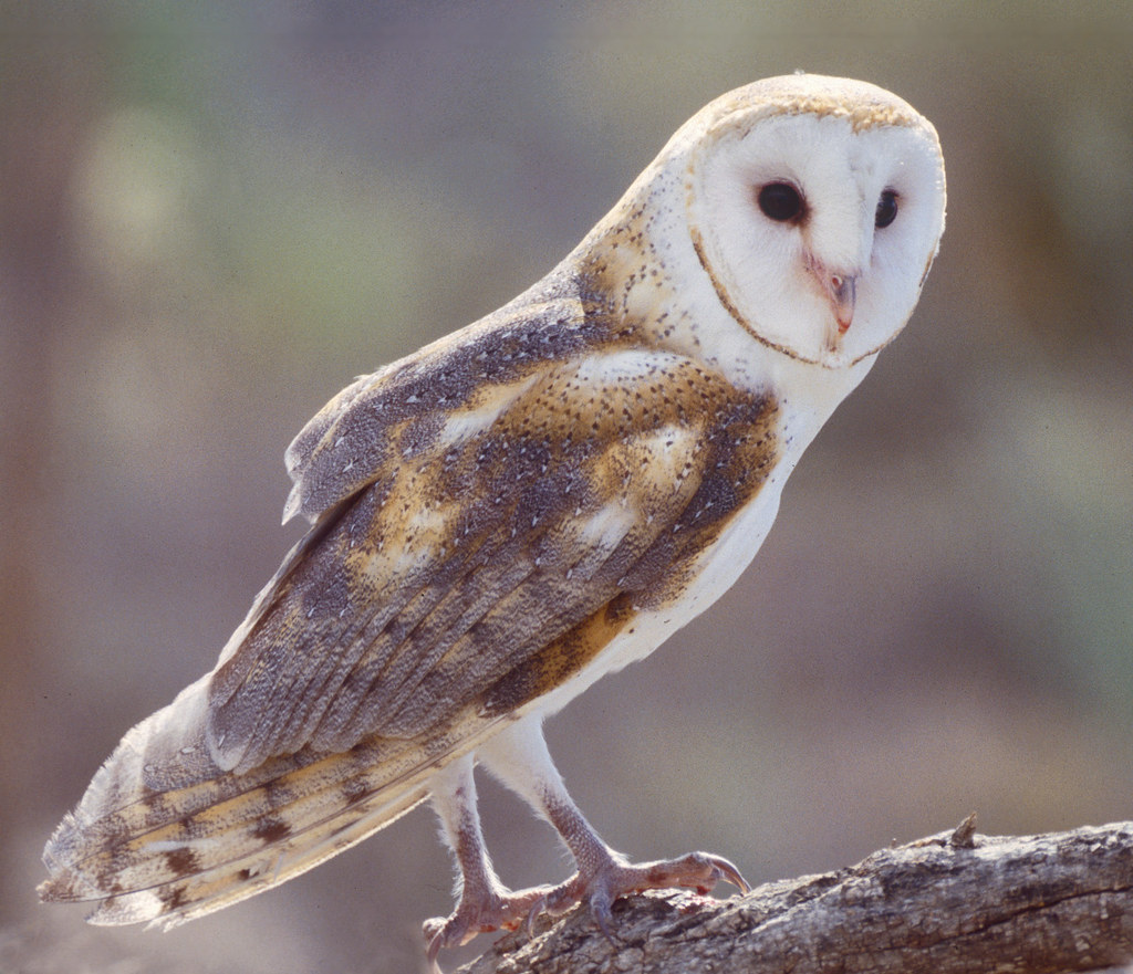 barn owl  arizona