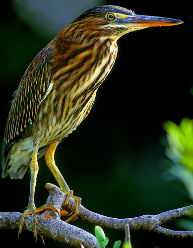 JUVENILE NIGHT CROWNED HERON | by a walk on the wild side nature photography