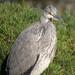 Heron at Holland Park