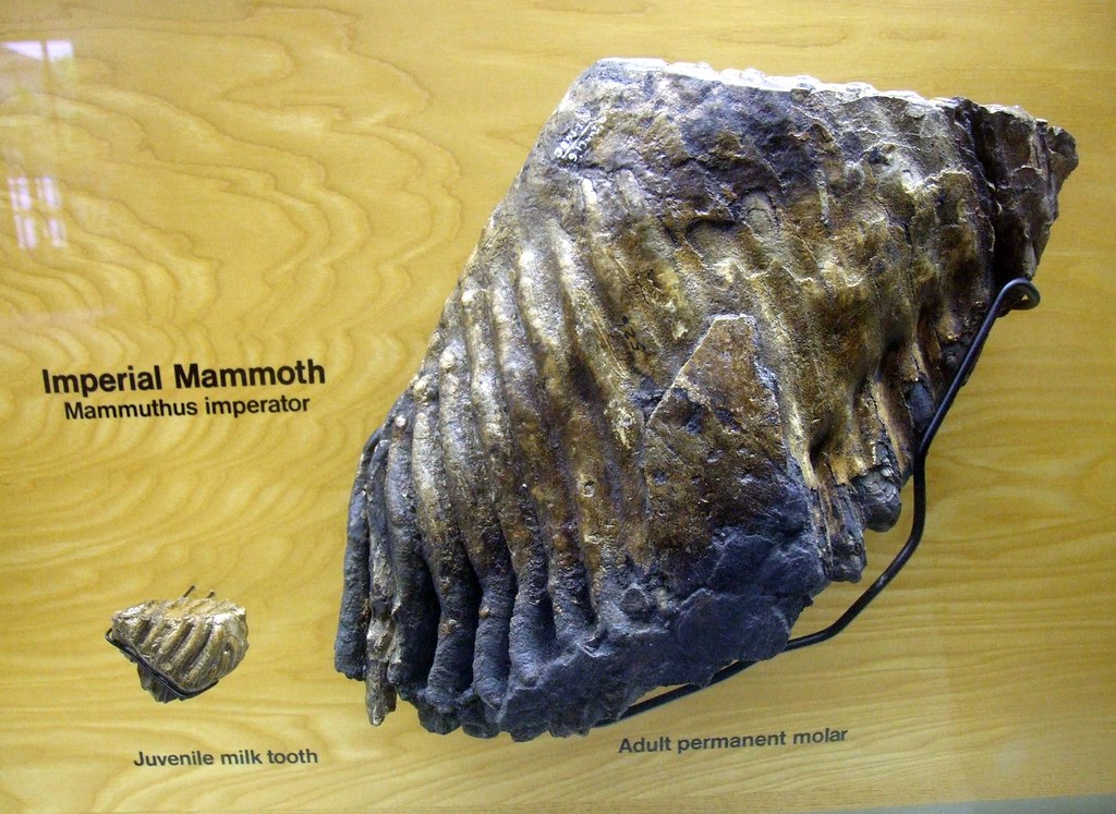 Imperial Mammoth Teeth | The Imperial Mammoth was the ...